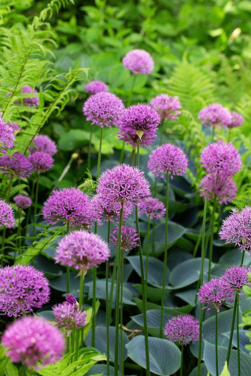 Lila bollar av Allium svävar över strutbräken och blåfunkia 'Halcyon'.