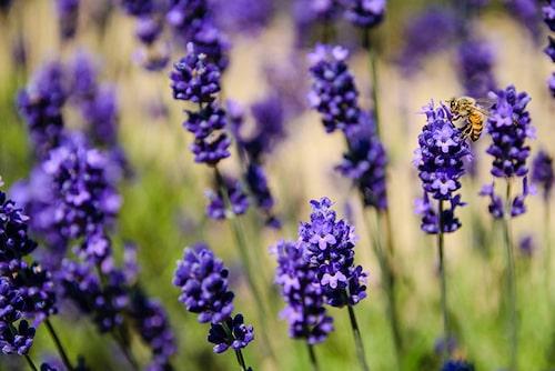 Bin och fjärilar älskar lavendel
