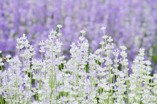 Lavendel är lättskötta om de står soligt och väldränerat