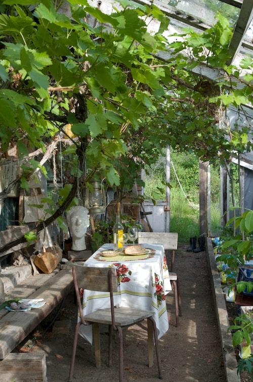 Ger vinrankan ätbara druvor? You bet! Här driver Lotten och Bosse dessutom upp ett tusental plantor, vissa i säck, för vidare befordran till köksträdgården. Tomat, gurka och chili etcetera.