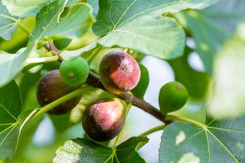 Vattna ordentligt och kontinuerligt, gärna med lite näring när fikonträdet börjat sätta frukt.