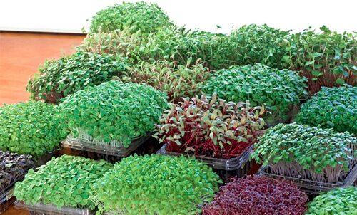 Många olika mikrobladsodlingar redo för skörd