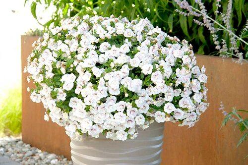 Fylldblommande småpetunia 'Minifamous Uno Double' white pink vein, en mycket användbar sommarblomma för krukor och amplar. FOTO:Blomsterfrämjandet/Selecta