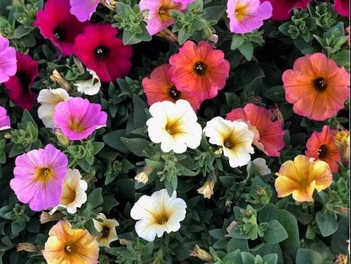 Petchoa 'BeautiCal' är en blandning mellan petunia och småpetunia. FOTO:Arvidssons i Fjärås