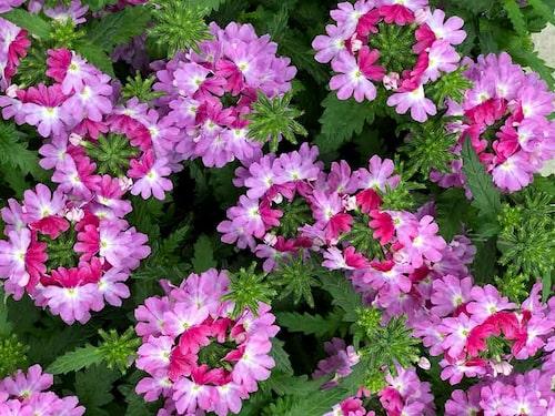 Trädgårdsverbena 'Lanai Upright Twister Rose' växer tät och har vacker blomfärg. FOTO:Arvidssons i Fjärås