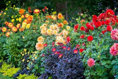 Dahliasläktet har en av de största variationerna av färger och former på blommorna.