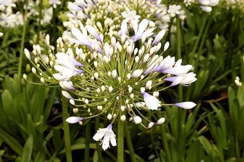 Ibland är Afrikas blå lilja kinkig och vill inte blomma. Kolla checklistan nedan för åtgärder.