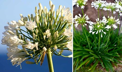 Vit Agapanthus. Det finns flera sorter som har vita blommor.