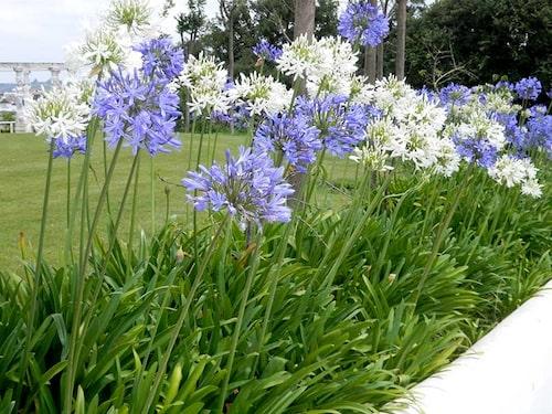 Afrikas blå lilja och namnsorter av Agapanthus finns i färger från vitt till blått.