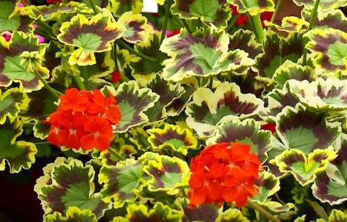 En brokbladig pelargon med tre färger.