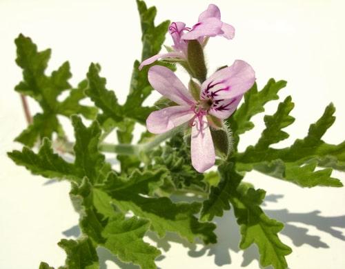 Doftpelargoner odlas för bladverkets skull.