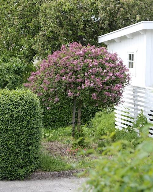 Dvärgsyren 'Palibin' passar lika bra i trädgården som i kruka på altanen.