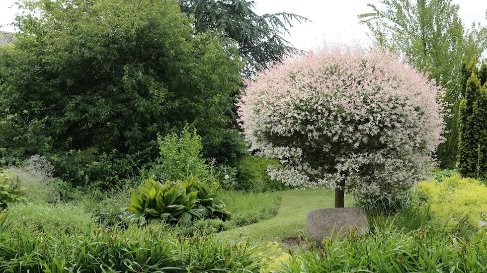 Eukalyptusvide 'Hakuronishiki' har ett skirt, rosavitt bladutspring som lyser upp en plantering.