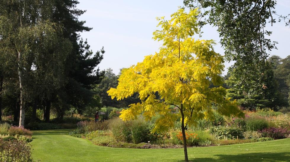 Korstörne 'Sunburst' lyser upp i trädgården.