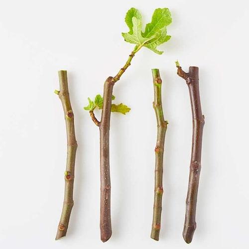 Sticklingar av fikon ska vara ca 10–15 cm långa. Blad stjäl kraft, så ta bort dem. Tjockare grenar går lättare att rota i vatten.