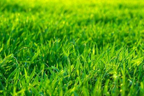 Se till att gödsla gräsmattanoch skapa de bästa förutsättningarna för den. Skugga gillas mer av mossa än gräsmattan.