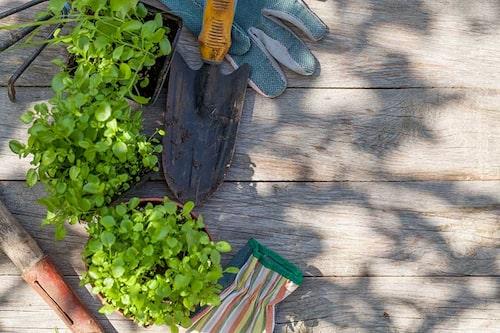 Det finns inget generellt planteringsdjup för perenner och sommarblommor, men planterar man dem på samma djup som tidigare kan det inte bli fel.