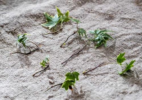 Av murgröna tar man så kallade ledsticklingar. Klipp av en lång ranka och dela upp i mindre sticklingar.