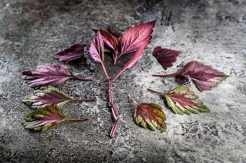 Plocka bort blad på toppsticklingen för att minska avdunstningen. Stickling av palettblad.