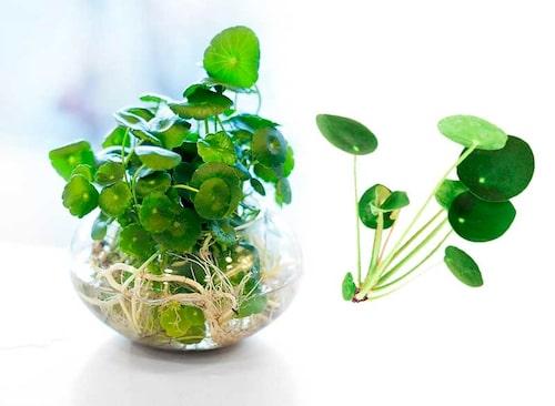 Parasollpilea får småplantor vid sidan om moderplantan. Bryt loss och plantera i egen kruka.