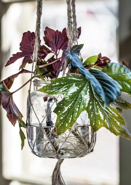 Sticklingar av hibiskus, palettblad och begonia. De har rotat sig fint i vatten.