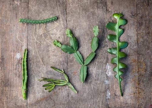Sticklingar av kaktusar och stamsuckulenter är känsliga för fukt. Överst en stambit av nattens drottning. Från vänster asblomma, rosenkaktus, julkaktus och flikig bladkaktus. Det som ser ut som blad är i själva verket stammar.