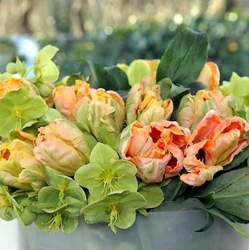 Tulpaner och julrosor – grönt och aprikost