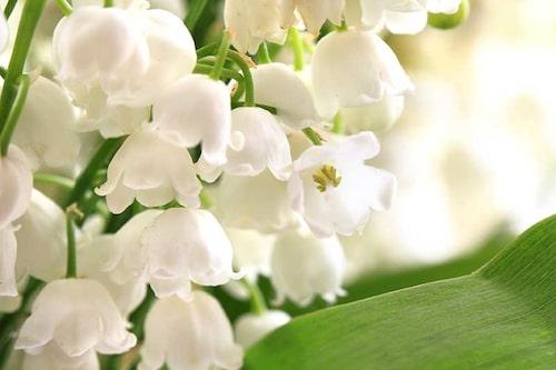 Liljekonvaljer tillhör sparrisfamiljen och är fridlyst på flera håll.