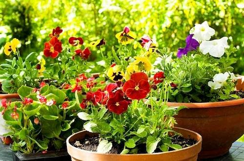 Kombiner perennrabatten med ettåriga sommarblommor, eller sätt dem i hål som uppstått, så får man kontinuerlig blomning.