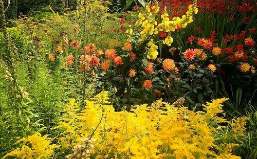 Bli inte förblindad av försommarens blomning och missa att sätta ut dahlior som ger lång blomning in till frosten!
