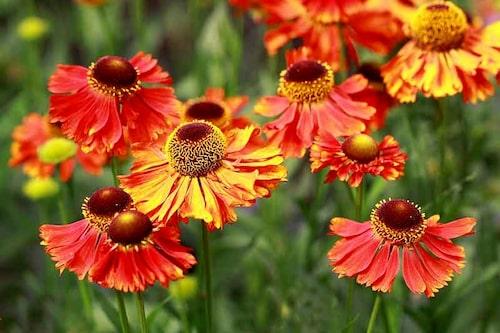 Solbrud (Helenium) är perenner som man kan förlänga blomningen med genom att göra ett Chelseaklipp i maj-juni.