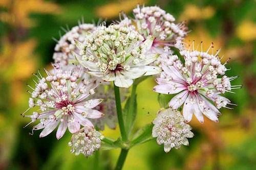 Stjärnflocka tillhör de riktigt långblommande perennerna och är fin att kombinera med de flesta andra växter.