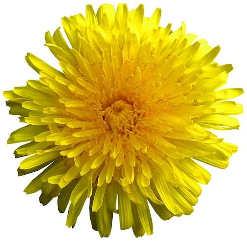 Testa att fritera blomskotten lätt och ha dem som tillbehör till grillat.