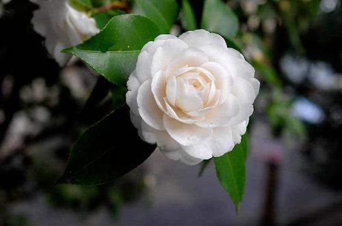 En vit pionformad kameliasort. Kamelior är surjordsväxter och trivs i rododendronjord.
