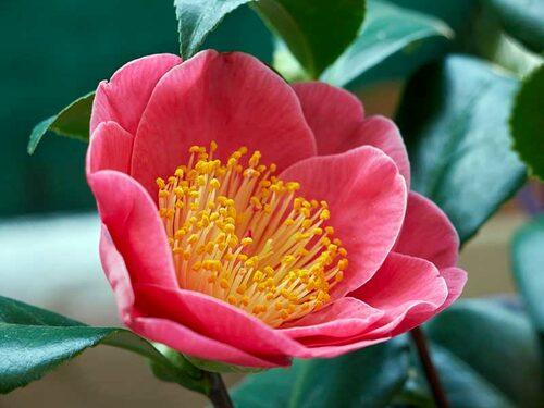 En enkelblommande Camellia japonica, i dess naturliga form. Spreja busken ofta med vatten, då de gillar fukt.