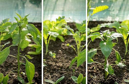 Chiliplantor som omskolats och planterats på större yta i växthus.