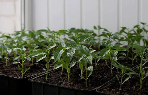 Det är inte svårt att så chili, men man behöver förkultivera och plantorna vill ha mycket ljus och värme.