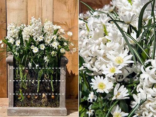 Vit löklasagne med Anemone 'White Splendour' och Hyacinthus 'Carnegie'.