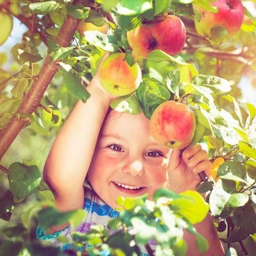 Plocka äpplen i Kivik!
