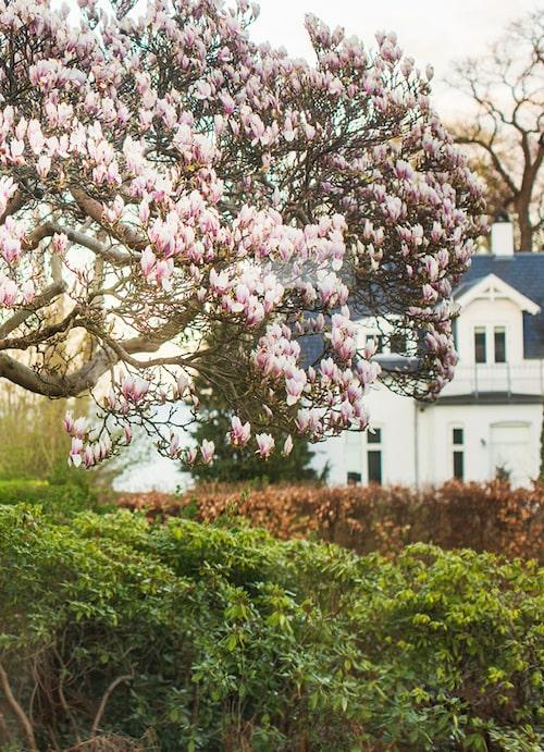 Magnoliaträdet står i full blom dagen till ära.