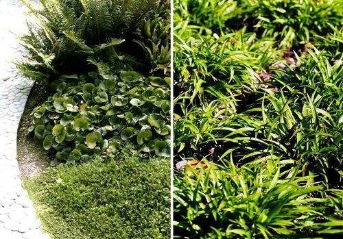 Hasselört och storfryle är två vintergröna marktäckare med snyggt vintergrönt bladverk.