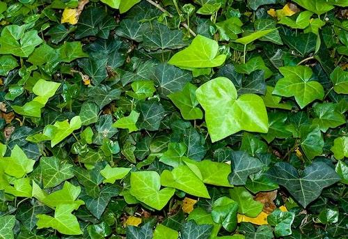 Murgröna är den tuffaste och mest lättskötta marktäckaren för skuggiga lägen.