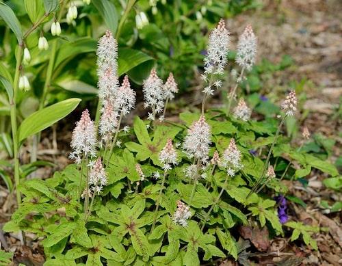 Spetsmössa Tiarella har näpna blommor och blad. En riktigt drömmig marktäckande perenn.
