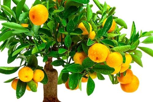 Ympade träd ger frukt snabbare än frösådda citrus. Här en tangerin.