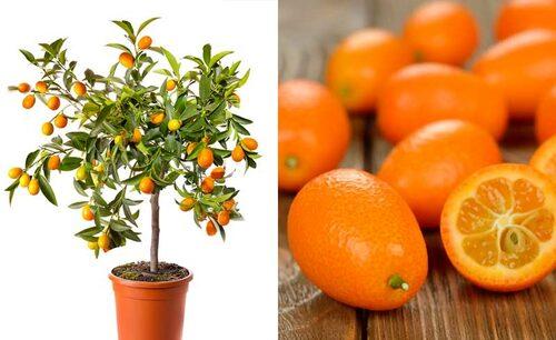 Oval kumquat får rikligt med små frukter, som du kan äta direkt från trädet.