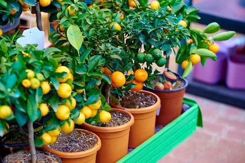 Småcitrus i kruka, clementin, satsuma och lime.