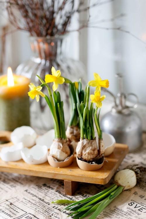 Påskens blomma nummer ett kan arrangeras på mängder av sätt, här i ett sött stilleben tillsammans med äggskal.