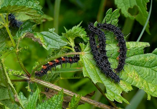 Rensa inte bort alla brännässlor! De lockar till sig fjärilar som är beroende av dem för fortplantningen.
