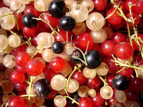 Det är bara de svarta och gröna vinbären som doftar om bladen. Det går bra att torka svartvinbärsblad för att använda i te.