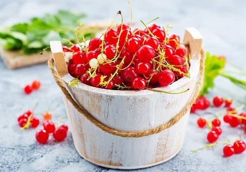 Vill du ha ännu fler vinbärsbuskar kan du föröka dem genom sticklingar och jordavläggare.